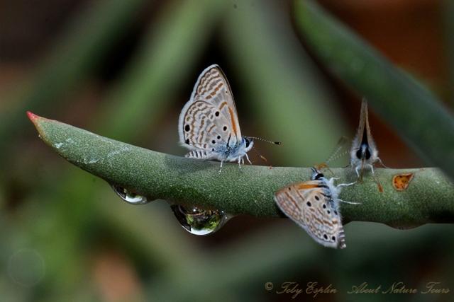 Velvet-spotted Babel Blue (Azanus ubaldus)